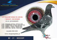 BE 21 5022309 – PETER VREYS –  7m FINAŁ Rodzice gołębie zdobyli 6x1 konkurs na lotach dalekodystansowych  8m w PIPA RANKINK na DŁUGIE DYSTANSE W 2020 r. !!!!