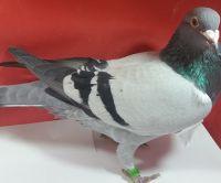 Belg-18-4190769 org. Poppe Willy gołąb lotowany na wspólnym gołębniku Talent Quatro Czechy