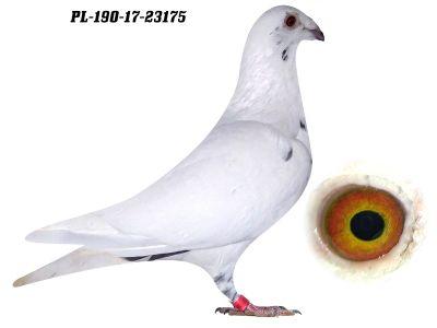 Biała Nakrapiana Scherens Vangramberen