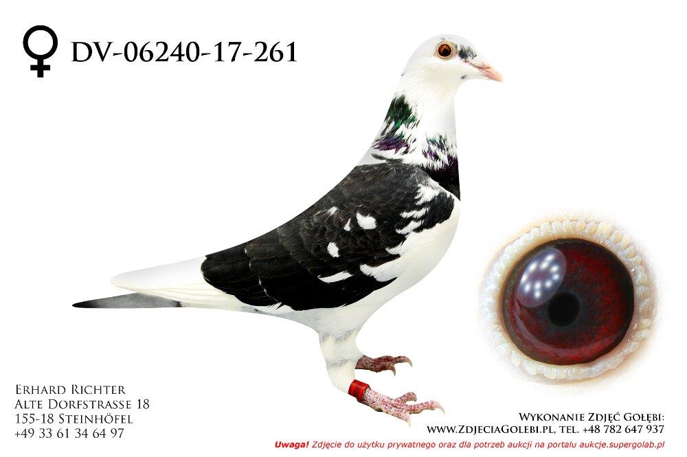 Dv 06240 17 261 Profesjonalny Portal Aukcyjny Gołębi Pocztowych