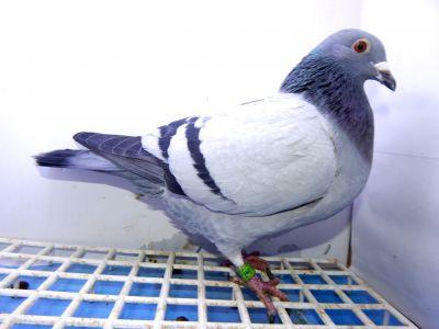 DV-09715-18-347 Oryginał gołębie REINHARD MUHL