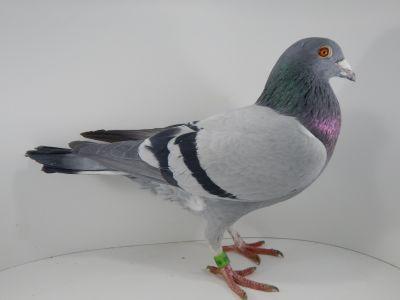 DV-09715-18-545 Oryginał gołębie REINHARD MUHL