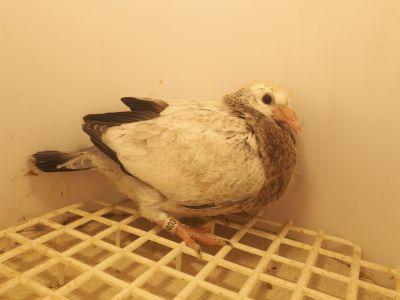 Gołąbki dalekodystansowe od MISTRZA PKLD PARUCH R.A.M. PL-0330-20-2403