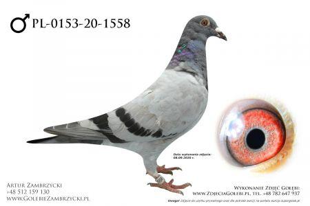 PL-0153-20-1558 - prawdopodobnie samczyk