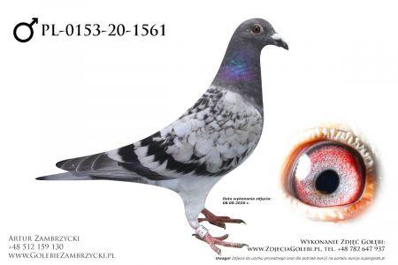 PL-0153-20-1561 - prawdopodobnie samczyk