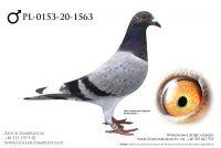 PL-0153-20-1563 - prawdopodobnie samczyk