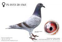 PL-0153-20-1565 - prawdopodobnie samiczka