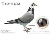 PL-0177-20-828 - prawdopodobnie samiczka