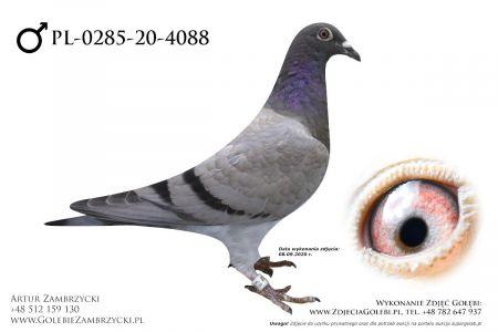 PL-0285-20-4088 - prawdopodobnie samczyk
