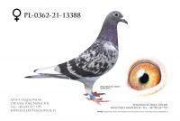 PL-0362-21-13388 - Wnuk Olympik Cecile !!!