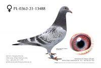 PL-0362-21-13488 - Top Linia Jan Van De Pasch