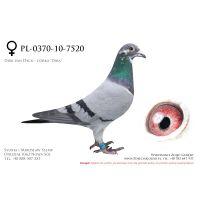 PL-0370-10-7520, z hodowwli IKD Łepuch