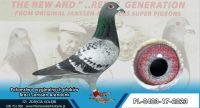 PL-0403-17-2023- Oryginał po  gołębiach Braci Jannsen