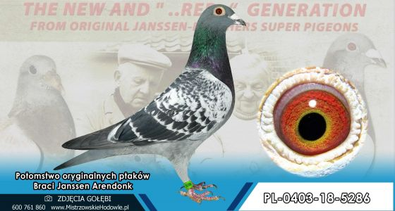 PL-0403-18-5286- Oryginał po  gołębiach Braci Jannsen