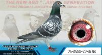PL-403-17-2142- Oryginał po  gołębiach Braci Jannsen